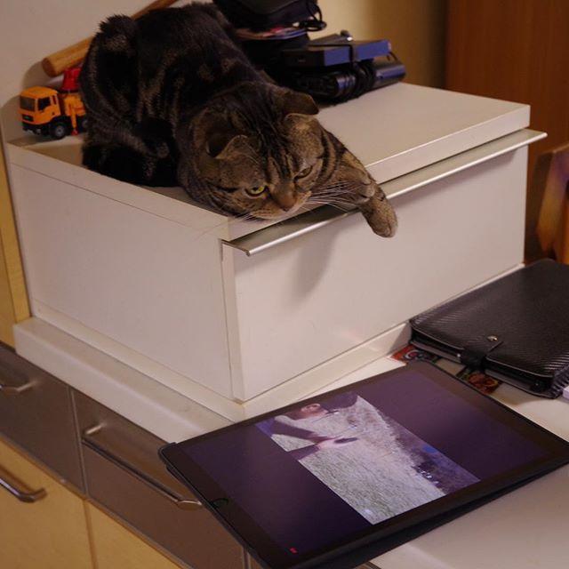 iPadって肉球に反応するって本当なんですね…。 キッチン側のiPadから急に音が鳴って驚きましたwww😎💦😼👍✨ 尚、マック堺氏の動画w #スコティッシュフォールド #スコティッシュ #scotishfold  #ネコ #ねこ #猫 #cat #愛猫 #にゃんこ #にゃんだふる #ねこ部 #mycat #CatPic #CatPhoto #Catstagram #CatAndiPad #YouTubeで一時停止していたのを触って再生開始したみたいです😎💦💦 #マガジンは自重で落下しますニャ😺 #カラスとか鳥の鳴き声もするから気になるみたいwww😸 #マック堺氏も愛猫家☝️😎