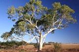 Eucalyptus victrix