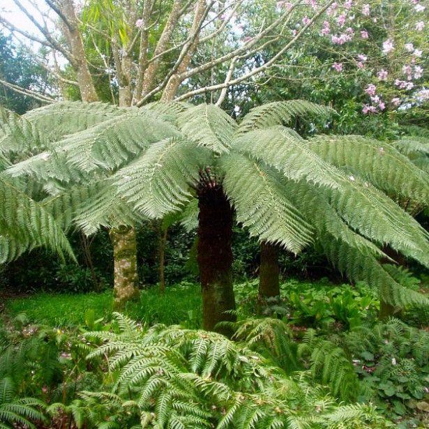 Fougère arborescente - Dicksonia antarctica, tronc de 45cm