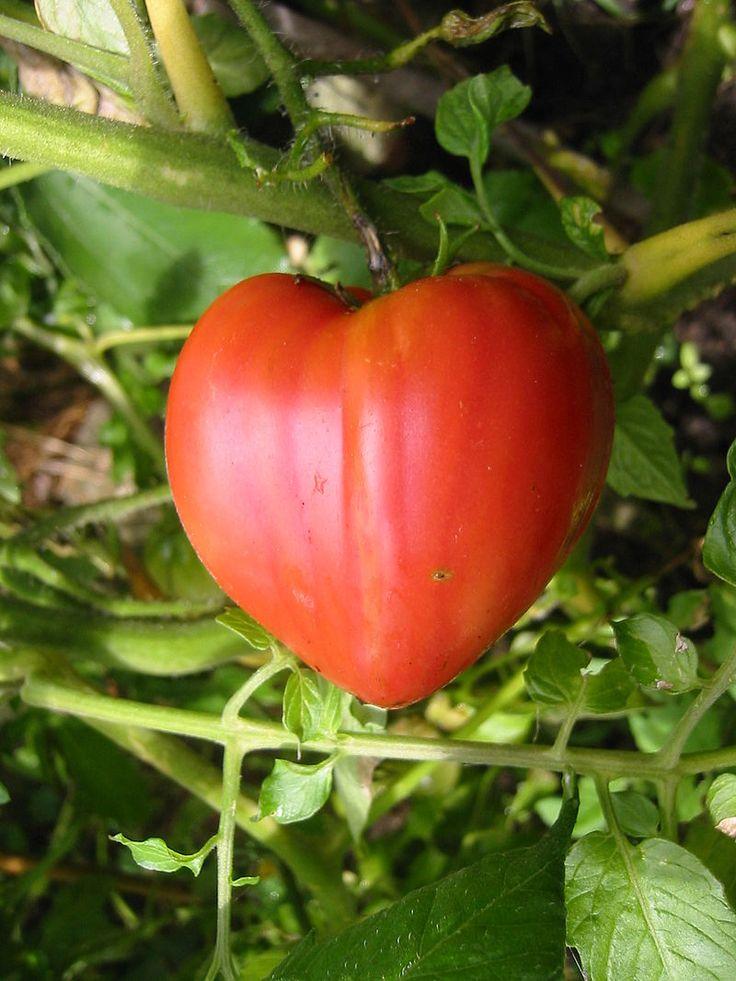 Coeur de boeuf vraie - Cœur de bœuf (tomate) — Wikipédia