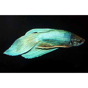17 images about pictures of betta fish tips on pinterest for Betta fish diet