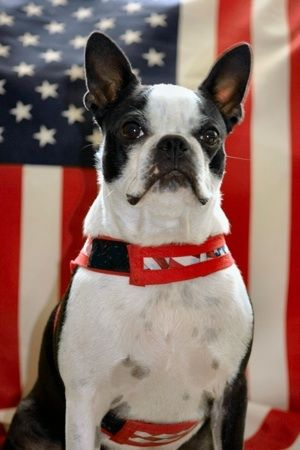 Boston Terrier looks just like my Harley, loved that dog.