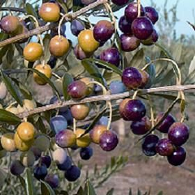 Arbequina pollenating olive