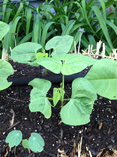 Kentucky Wonder pole beans are perfectly at home in this DIY straw bale garden. #StrawBaleGardens
