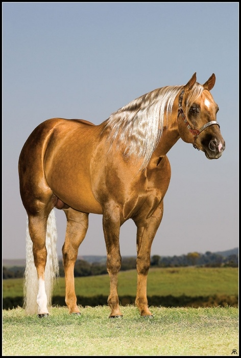 Peeko Del Cielo - Palomino quarter horse stallion