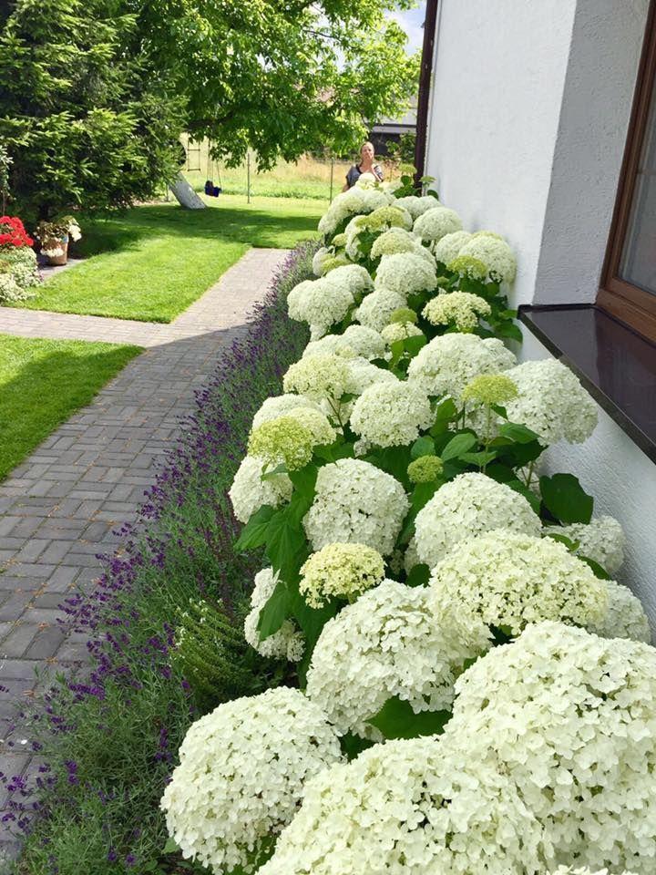 Nehmen Sie den Lavendel als Unterholz für das Blumenbeet und