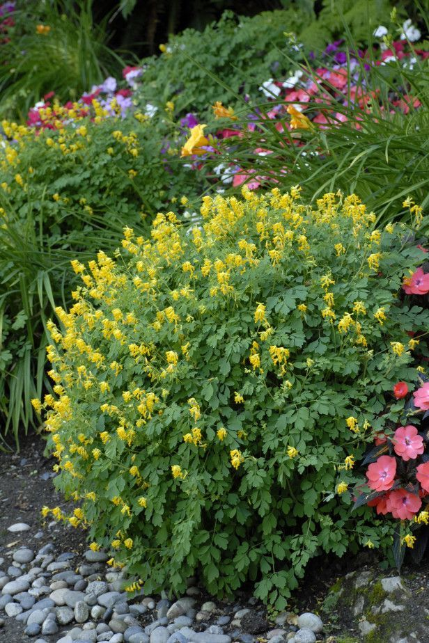 Yellow Corydalis Lutea A Cheery Bloomer Thrives On Neglect
