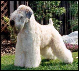 I want a Wheaten!