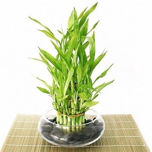 Lucky-Bamboo-Plant-Tiered-Arrangement-Arrives-with-Rocks-Vase-Best-Gift-New