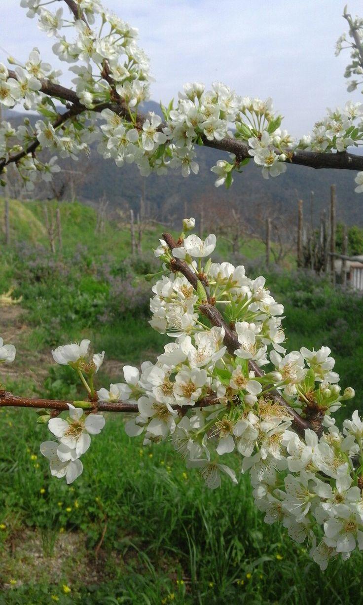 Prugna domestica in fiore