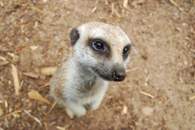 Meerkat at Melbourne Zoo