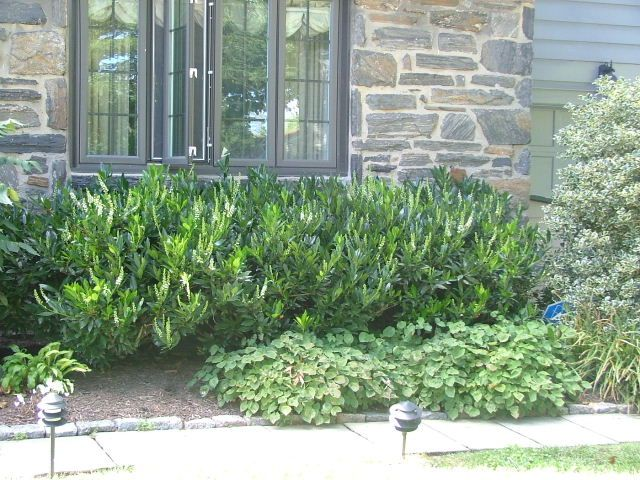 """Otto Luyken"" Cherry Laurel is lower growing, but still dense. It can make a nice lower growing hedge or a nice evergreen foundation plant."