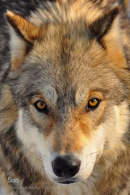 165 best lobos images on pinterest wolves wild animals and nature. Black Bedroom Furniture Sets. Home Design Ideas