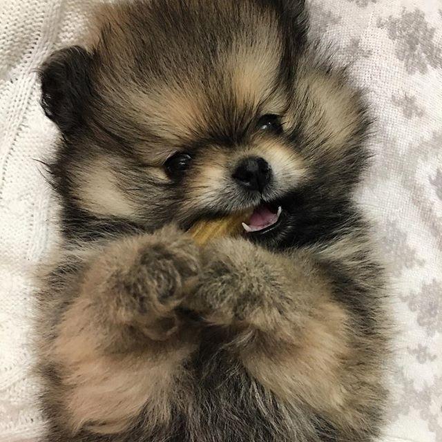 Всем сладких снов 🍼🐾😴 . . .#saintpetersburg #goodnight #dog #baby #sweet #love #pom #pompom #pomeranianlove #spitz #pomeraniansofinstagram #шпиц #померашка #померанскийшпиц #померанец #санктпетербург #малыш #любовь#like4like #likeforlike #follow