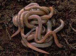 buy compost worms