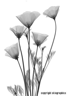 Sick X-Ray Shadow Picture of California Poppies