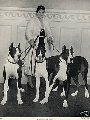 Great Danes-This is about the height of Euro Dane. Some people say she small, but she's still a pup.