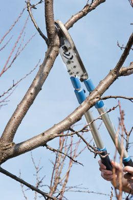 Pruning is beneficial for making plum trees strong and healthy, and produce a good amount of fruits. Here is a simple guide for pruning these trees.
