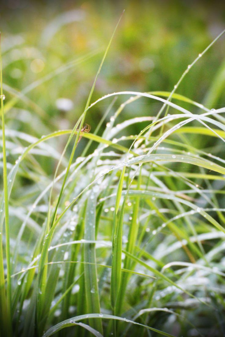 A little spider enjoying the green Finnish summer. #spider #grass #summer #finland #ostrobothnia #green