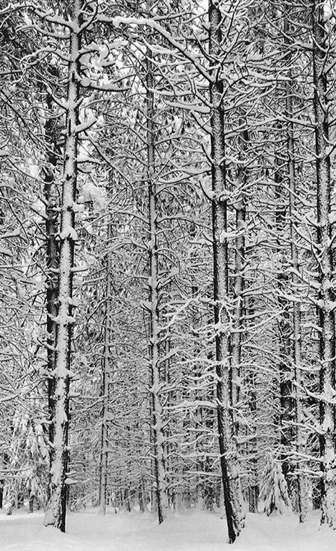 Ansel Adams, Pine Forest in Snow, Yosemite National Park, 1933.