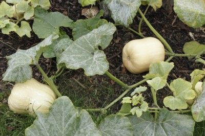 Growing Butternut Squash Plants In The Home Garden