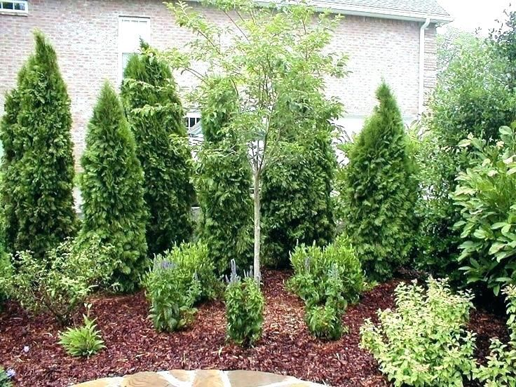 Best Privacy Trees For Small Backyard Trees Backyard Trees