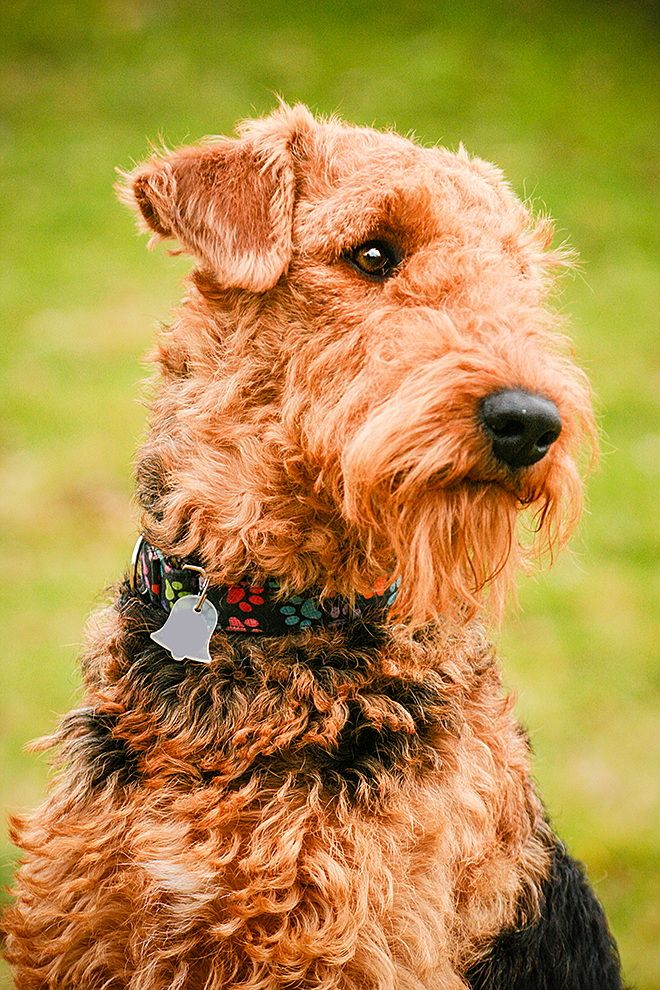 27 best images about Airedale terrier on Pinterest  Dog sleeping, Airedale terrier and Pop art