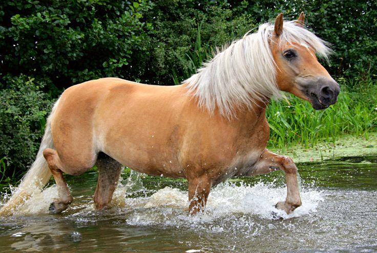 Haflinger horse or Avelignese. No taller than a pony, the Haflinger, from a town in Austria that's now in northern Italy, is considered a horse due to conformation and temperament. Always a shade of chestnut with a flaxen to white long mane and tail.