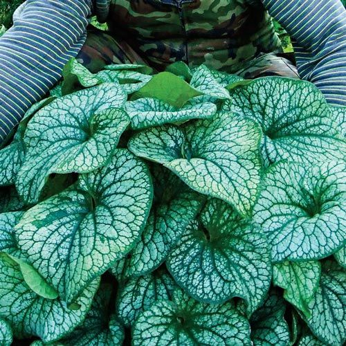 Buy Brunnera Macrophylla Alexander's Great at Brecks Wholesale