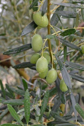 Grüne Oliven im Sommer, Chalkidiki