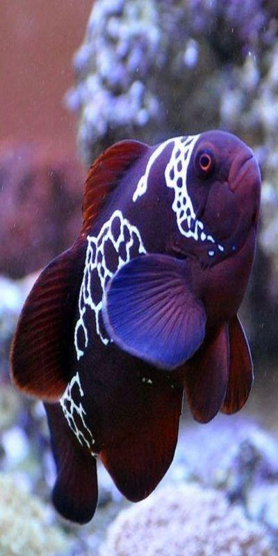 Best 20 aquarium fish ideas on pinterest amazing fish for Lifespan of a betta fish in captivity