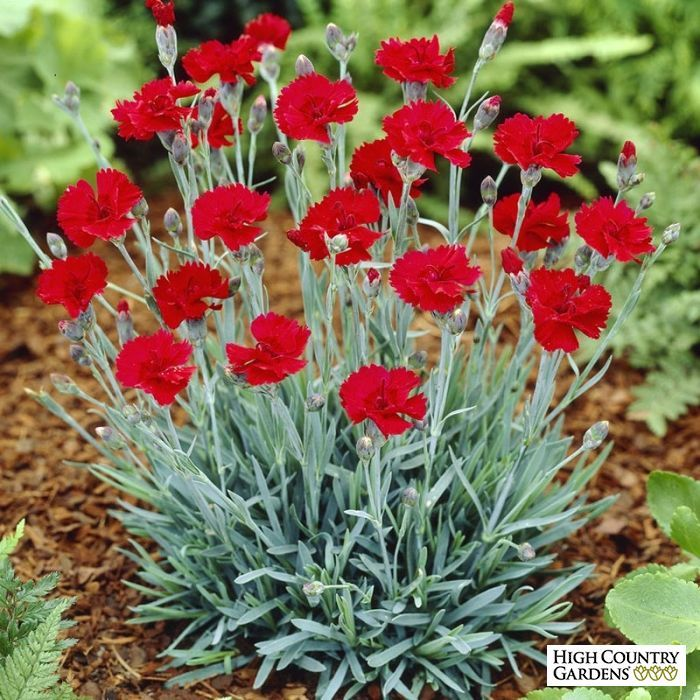 Red Dianthus Star Fire Star Whole Plant #Landscaping ideas