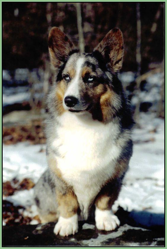 Coedwig Cardigan Welsh Corgis Corgi Corgi Dog Cardigan Welsh Corgi Puppies