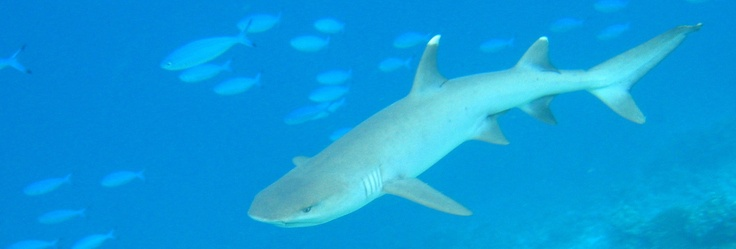 White-tip Reef Sharks are common around the Gili Islands