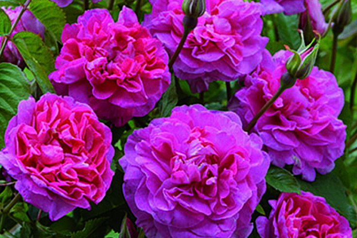 England's Rose.  David Austin roses