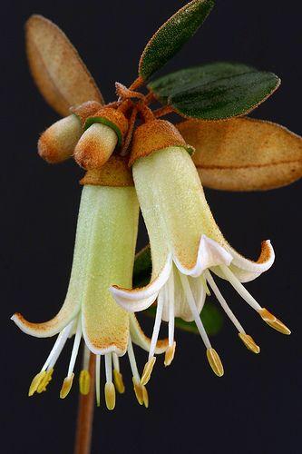 Correa backhouseana. What a beautiful flower from a bud that looks like an acorn!