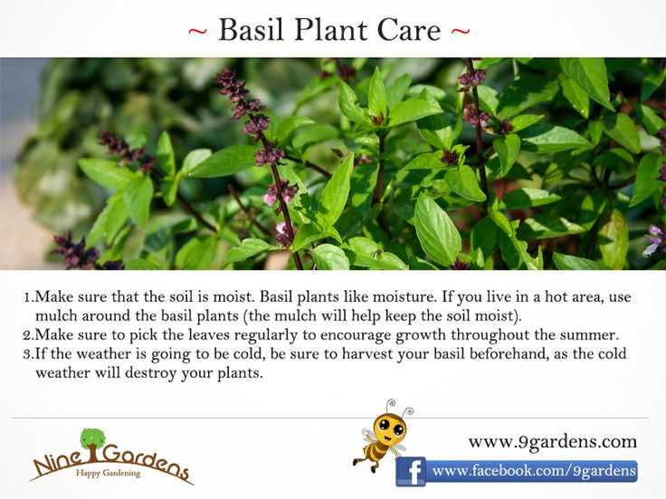 Basil Growing tips ...
