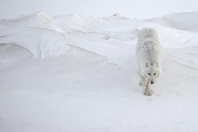 Wolf - Vincent Munier