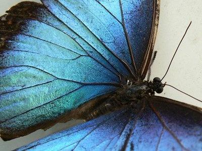 blue-morpho.jpg.400x300_q85_crop-smart.jpg 400×300 pixels