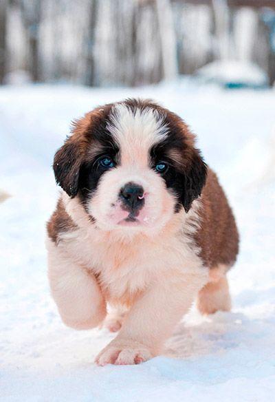 st bernard puppies - Google Search