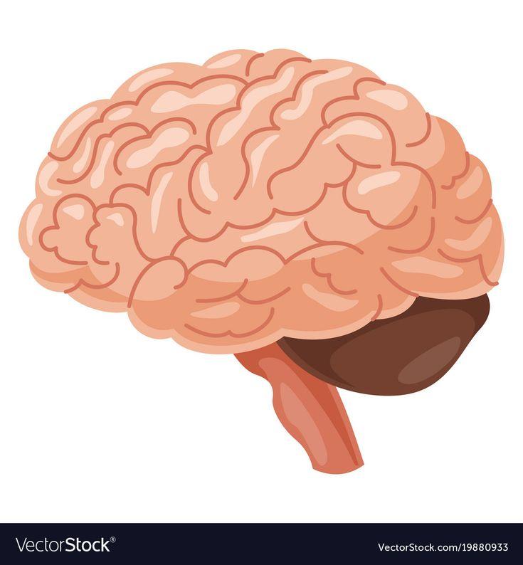 Download Brain vector image on VectorStock   Brain illustration ...