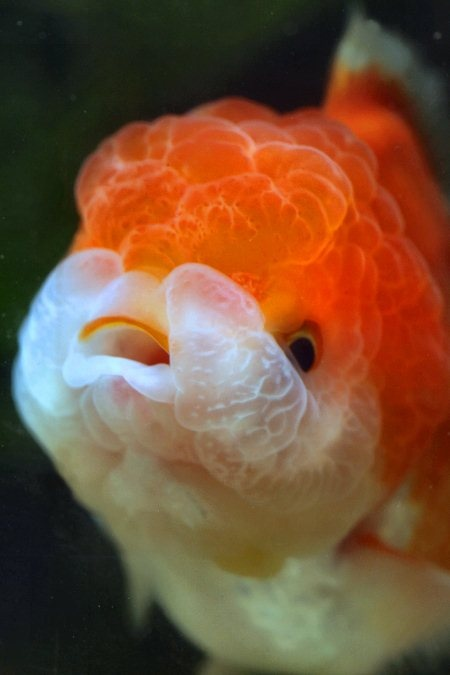 Lionhead - not a Lionhead, this fish has a dorsal fin, therefore it is an ORANDA {tae}