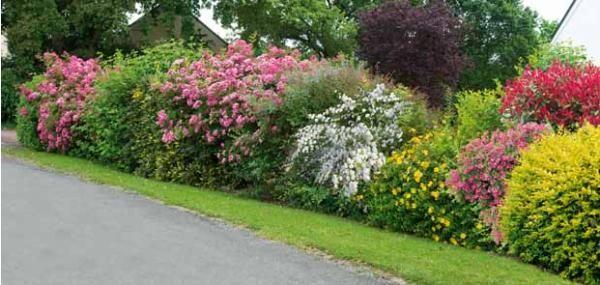 haie fleurie d 39 t jardin d 39 t pinterest gardens