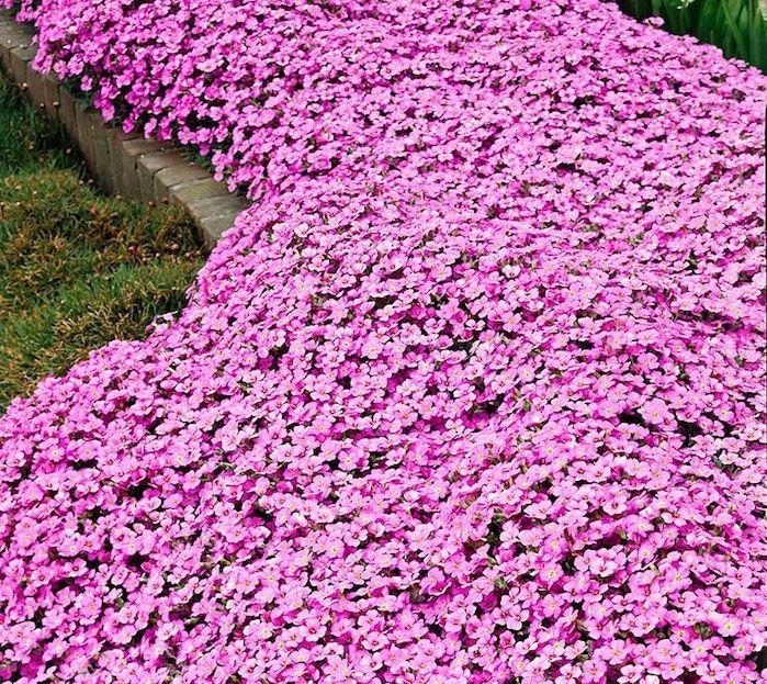 banc de plante tapissante fleurie couvre sol et rampante
