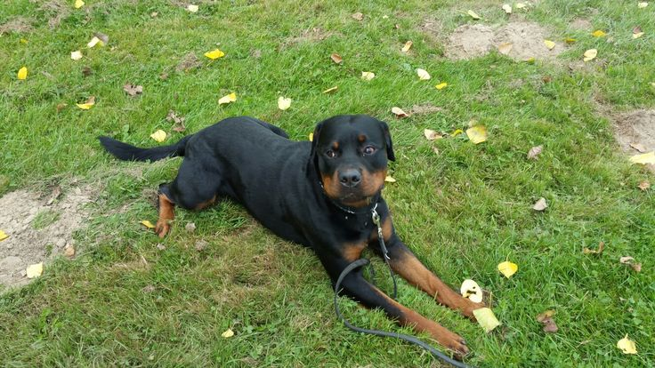 http://love-rottweilers.nl