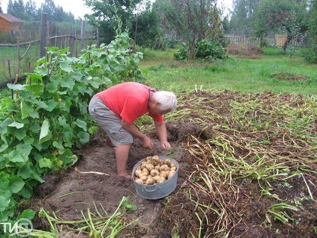 В Тверской области собирают тонну картофеля с сотки. Уникальная методика от кашинского агронома
