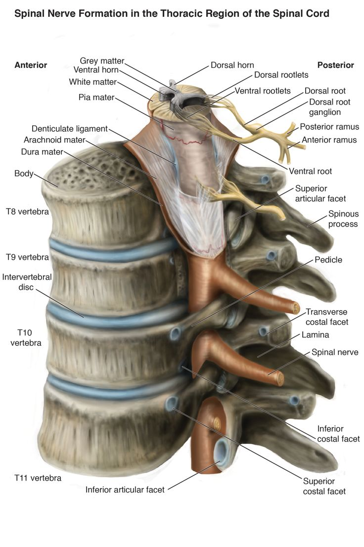 "damaximosguyart: "" First major assignment completed! Conceptualized exposure of spinal cord in the thoracic vertebrae """