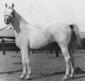 Gamil Manial 1912 Saklawi II x Dalal ak Zarka by Radban el Azrak RAS: stallion, Arabian