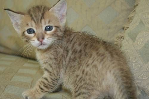 treatment for ringworm in cats