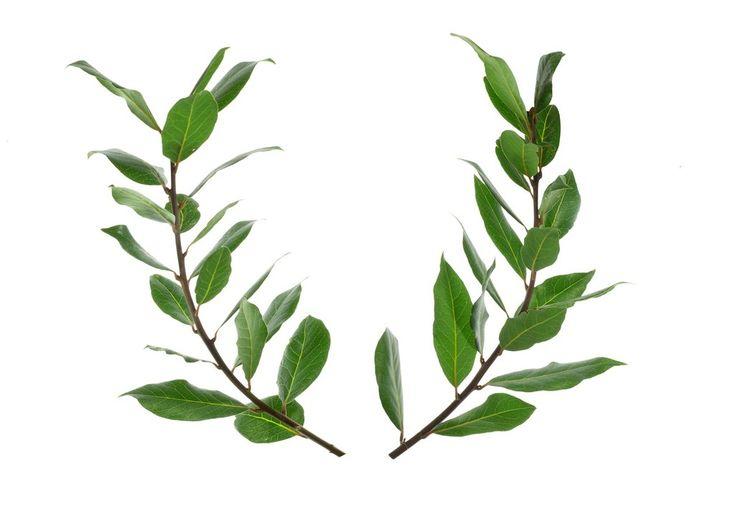 香り高い太陽神話の木・月桂樹(ゲッケイジュ・ローリエ)の育て方